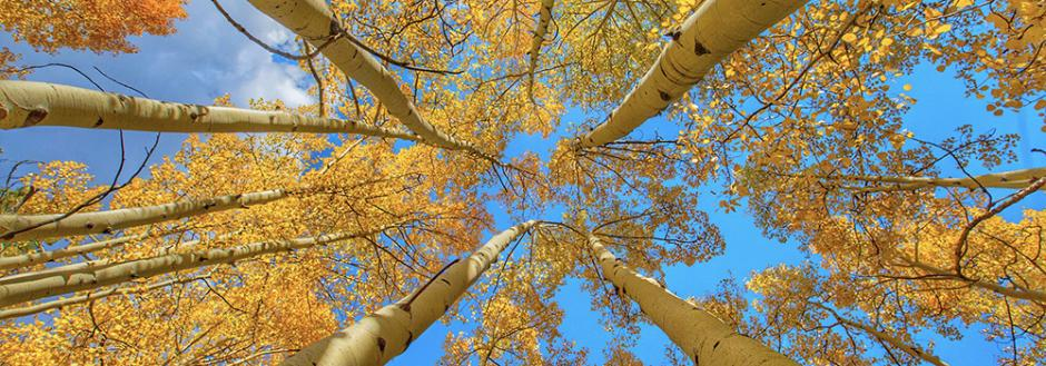 Looking up into golden aspen leaves in the fall