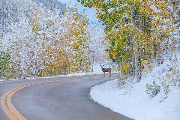 Deer greeting winter in Aspen